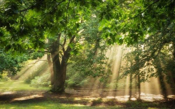 nature, Trees, Sunlight, Sun Rays, Oak Trees, Forest ...