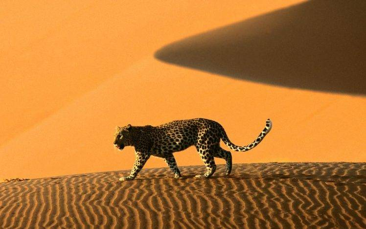 Namibia Sand Dune Leopard Animals Wallpapers HD