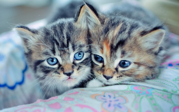 animals, Cat, Blue Eyes Wallpapers HD / Desktop and Mobile ...