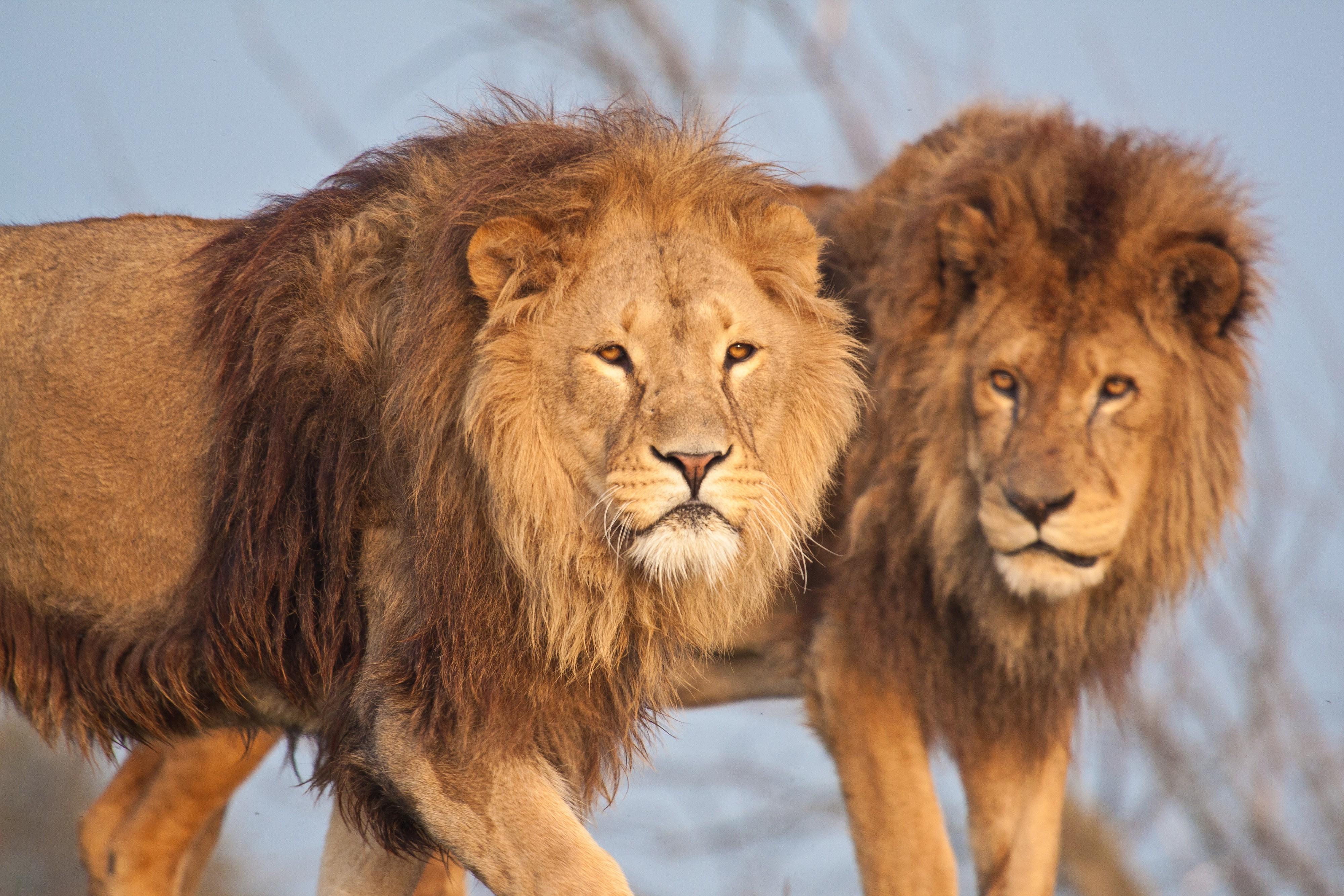 nature Animals Wildlife Lion Wallpapers HD Desktop