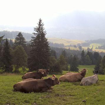 Kühe mit Aussicht