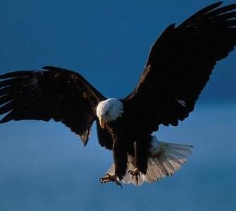 aguia voando