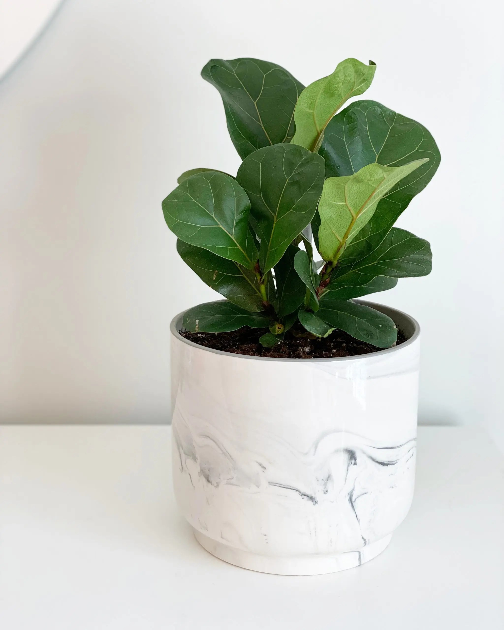 fiddle leaf fig in better homes and gardens ceramic planter with marble finish