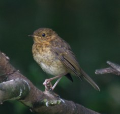 018 young robin