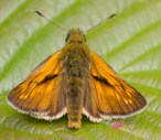 023 large skipper