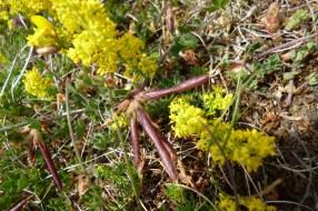 birdsfoot-trefoil-seed-pods-&-lady's-bedstraw