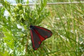 cinnabar moth on ragwort1