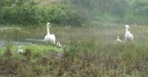 p1000964 swans with three cygnets