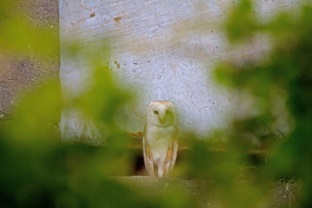 001 Barn owl at Tower-1