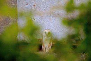 001 Barn owl at Tower-1