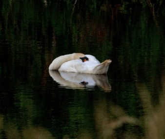 006 Swan after a hard night