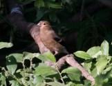 012 Young Bullfinch