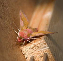 013 Small Elephant Hawk Moth