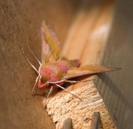013 Small Elephant Hawk Moth