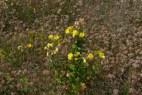 014 Evening Primrose