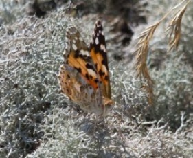 014 Painted Lady_edited-2