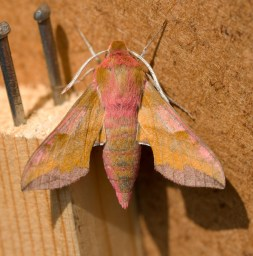 016 Small Elephant Hawk Moth