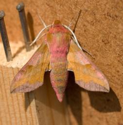016 Small Elephant Hawk Moth