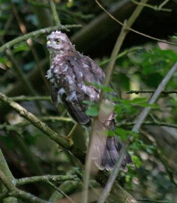 060 Last Sparrow Hawk to fledge