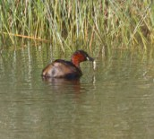 009 Little Grebe with fish_edited-1
