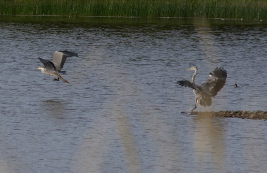 009 Two Heron