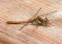 019 Male Red Veined Darter