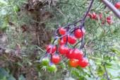 woody nightshade berries