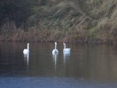 008 Three visiting Swans_edited-1