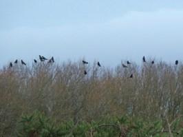 P1010179 Carrion Crow reunion_edited-1