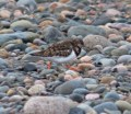015 Turnstone_edited-2
