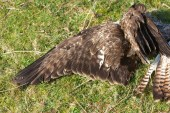 008 Dead Buzzard_edited-2