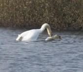 008 Mating swans_edited-2