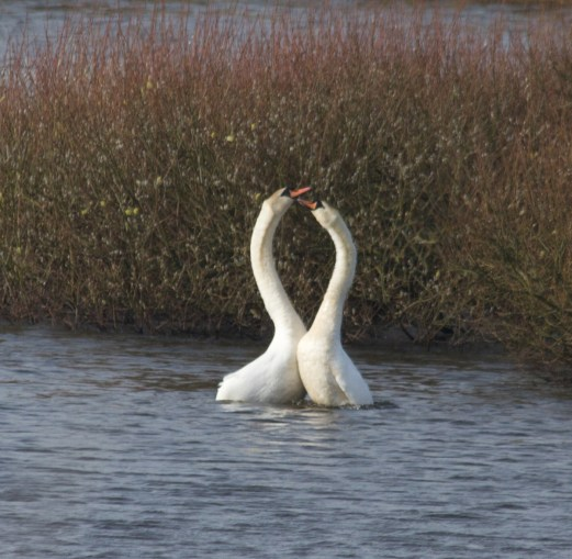 010 Mating Swans_edited-2