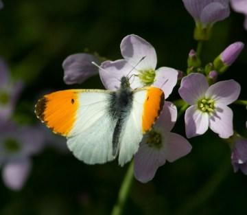003 Orange Tip on Cuckoo flower_edited-2