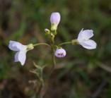 006 May - Cuckoo Flower_edited-2