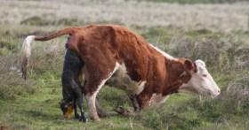 005 Calf being born 4_edited-2