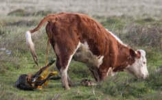 006 Calf being born 5_edited-2