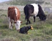 009 Calf being born 8_edited-2
