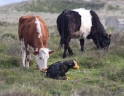 009 Calf being born 8_edited-2
