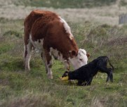 011 Calf being born 10_edited-2