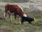 013 Calf being born 12_edited-2