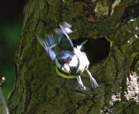 013 Great Tit leaving nest_edited-2