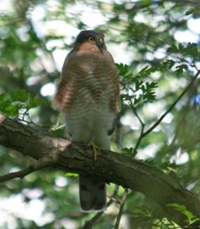 013 Male Sparrow Hawk on watch near nest_edited-2