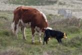 014 Calf being born 13_edited-2