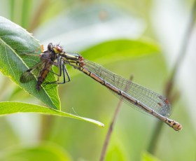 016 Immature Common Blue Damselfly with prey_edited-2