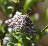 017 Common Heath Moth_edited-2