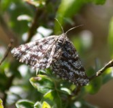 017 Common Heath Moth_edited-2