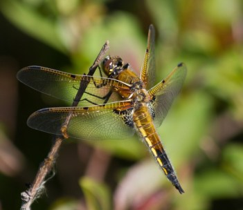028 Four Spot Chaser_edited-2