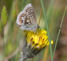 030 Male Common Blue_edited-2