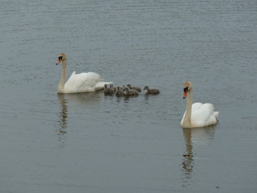 P1010238 Swans and cygnets 2014